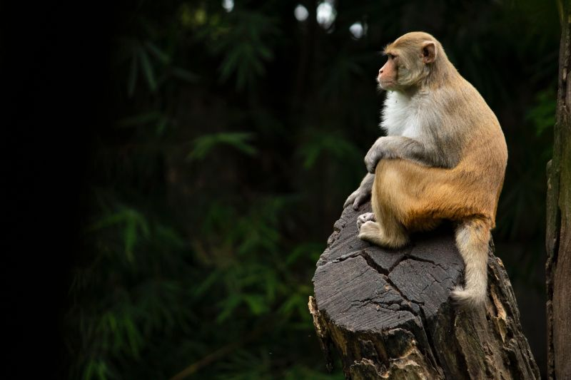 Rhesus macaque in jungle; photo credit Anirudh Chaudhary on Unsplash