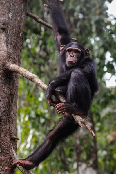 Rescued chimpanzee in a tree at Sanaga-Yong Chimpanzee Rescue Center; photo credit Jo-Anne McArthur / We Animals
