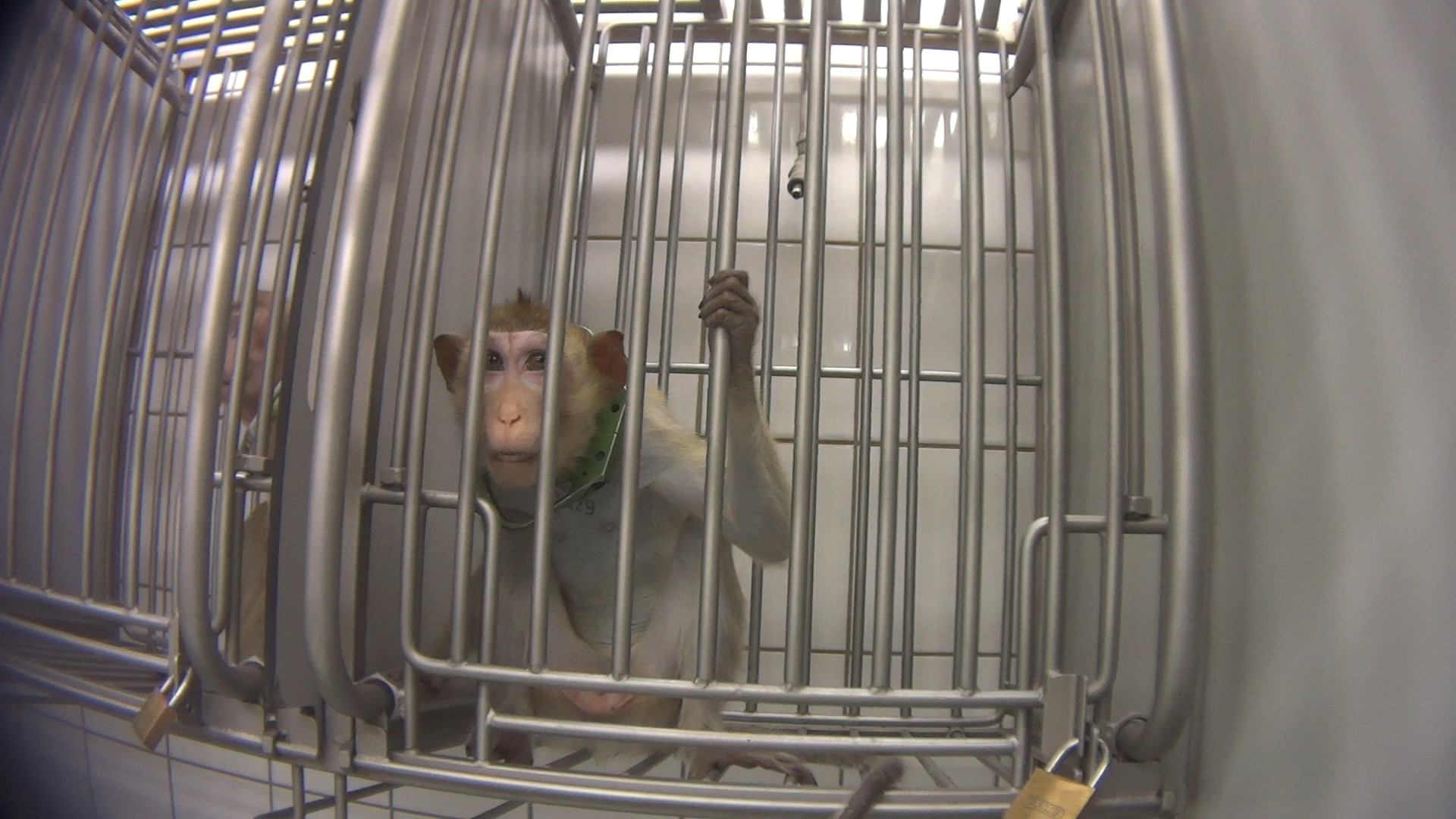 Long-tailed macaque in laboratory cage; photo credit SOKO Tierschutz/Cruelty Free International
