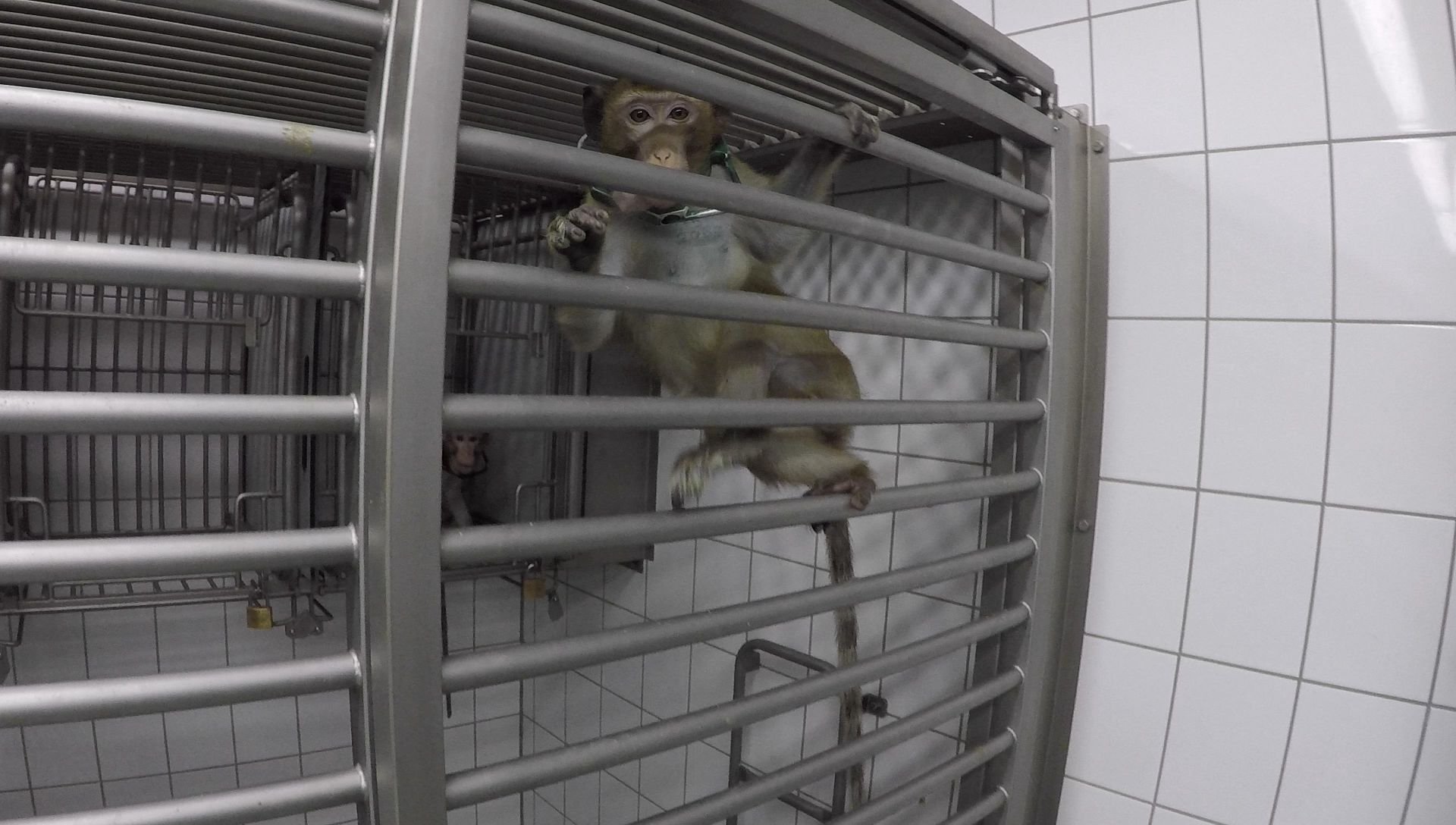 Long-tailed macaques in a laboratory; photo SOKO Tierschutz/Cruelty Free International
