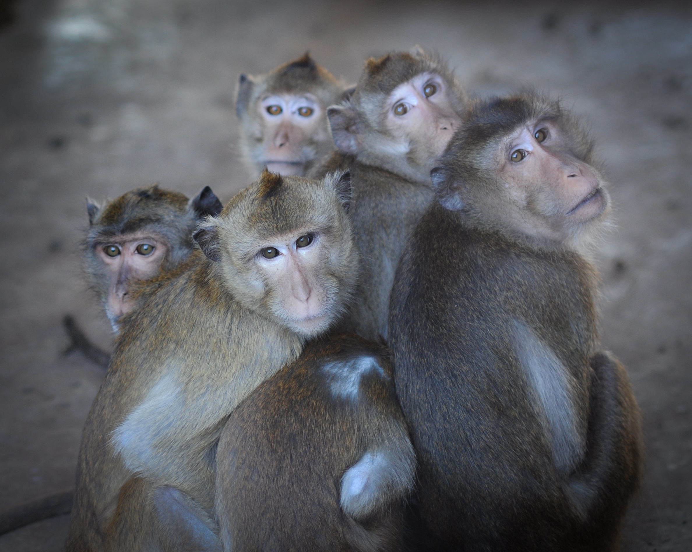 Long-tailed macaques at a breeding farm; photo credit Jo-Anne McArthur / We Animals
