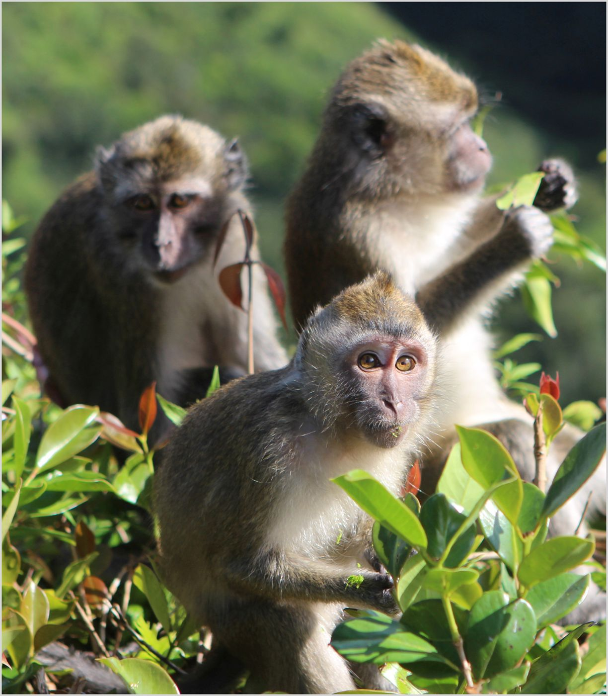 Long-tailed macaques living freely in Mauritius; credit Trevor Walker