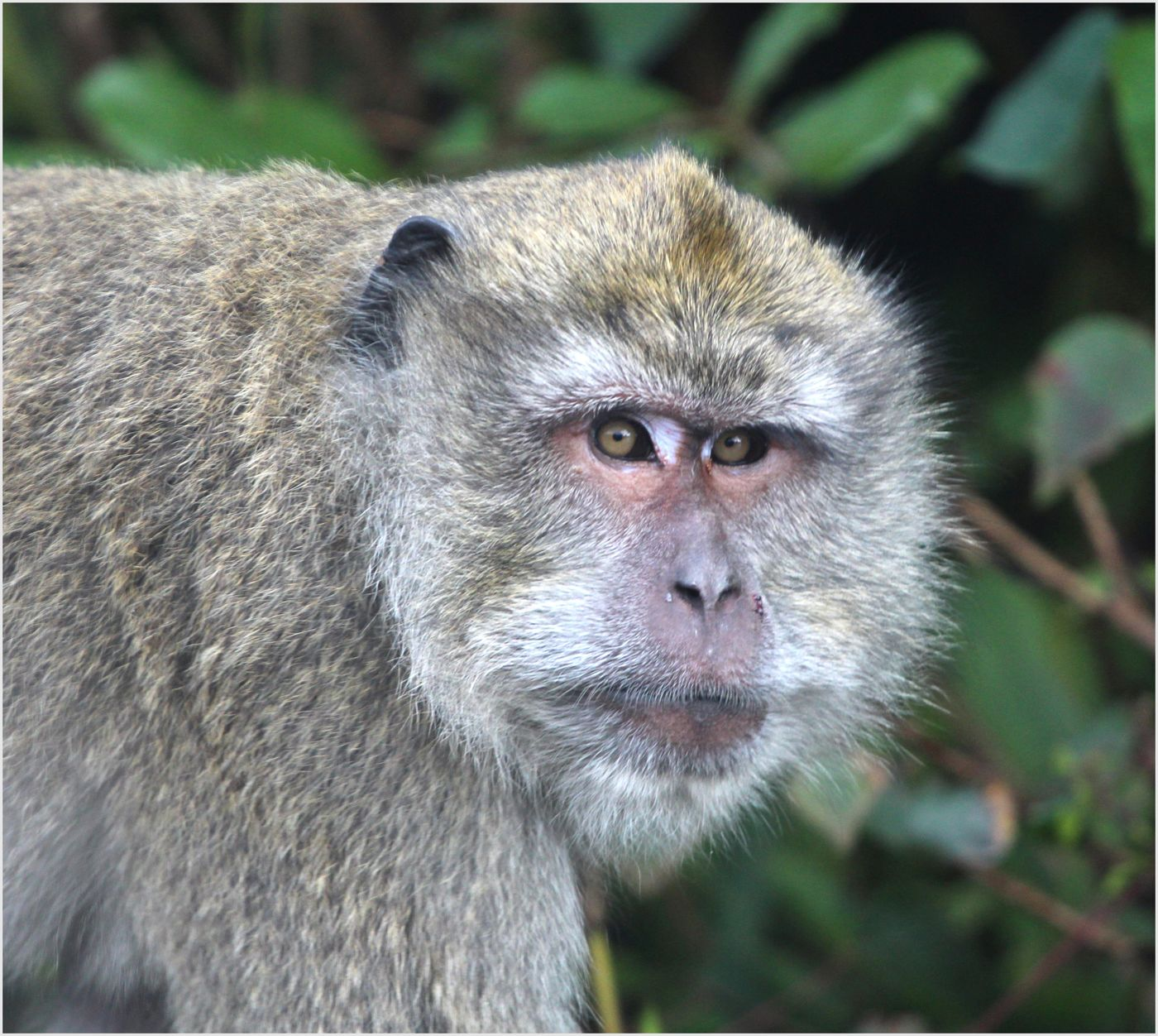 Long-tailed macaque living freely in Mauritius; photo Trevor Walker