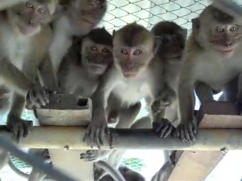 Young long-tailed macaques in a Mauritius monkey farm; photo credit Cruelty Free International