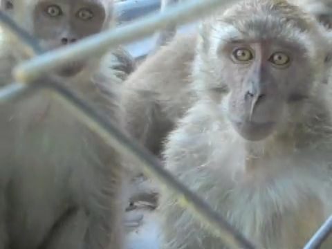 Long-tailed macaques in Mauritius breeding farm; photo credit Cruelty Free International