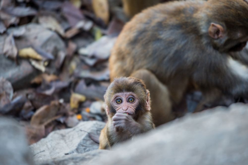 Rhesus macaques at Swayambhunath Temple in Nepal; photo Jo-Anne McArthur / We Animals