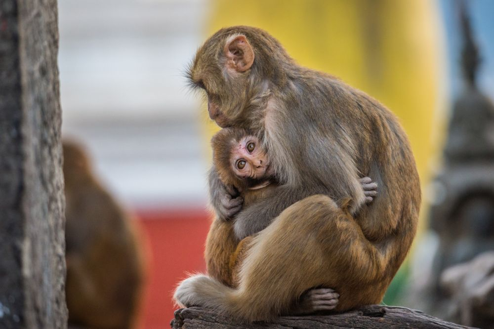 Rhesus macaques living freely; photo credit Jo-Anne McArthur / We Animals