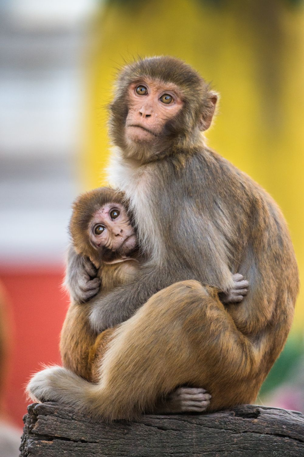 Free-living rhesus mother and baby, credit Jo-Anne McArthur / We Animals