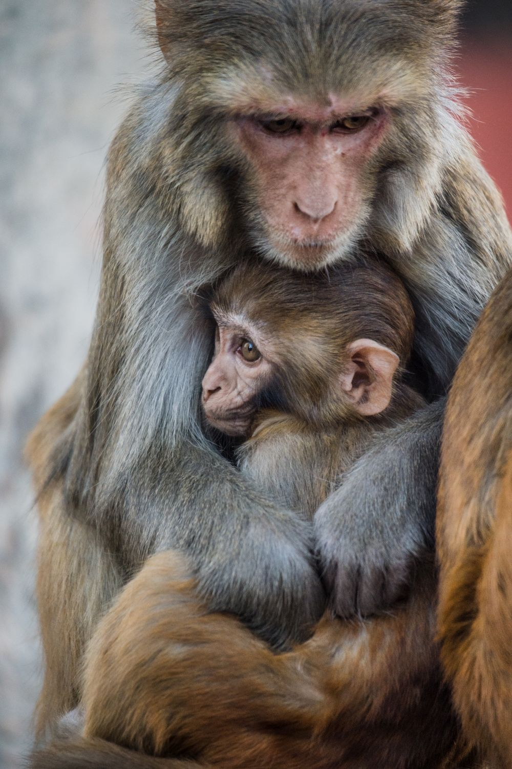 Mother rhesus macaque and baby, Swayambhunath Temple, Nepal; photo credit Jo-Anne McArthur / We Animals