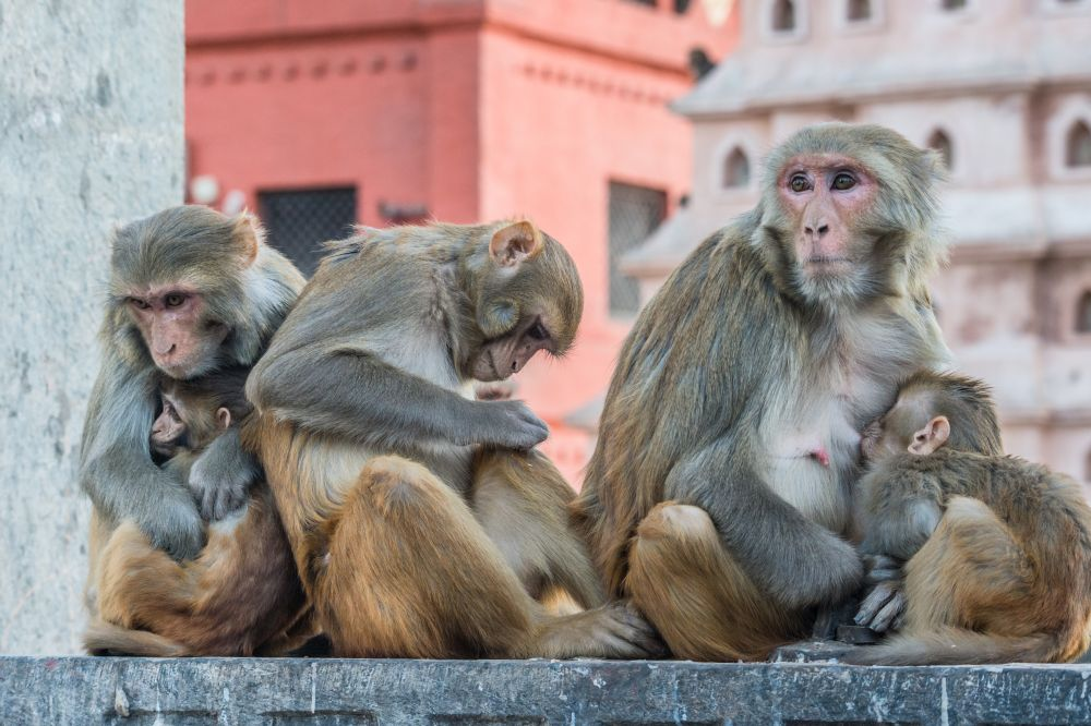 Rhesus macaque mothers and infants living freely in Nepal; photo credit Jo-Anne McArthur / We Animals