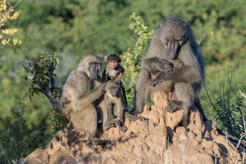 Chacma baboons on anthill in South Africa; photo Grobler Du Preez, Dreamstime