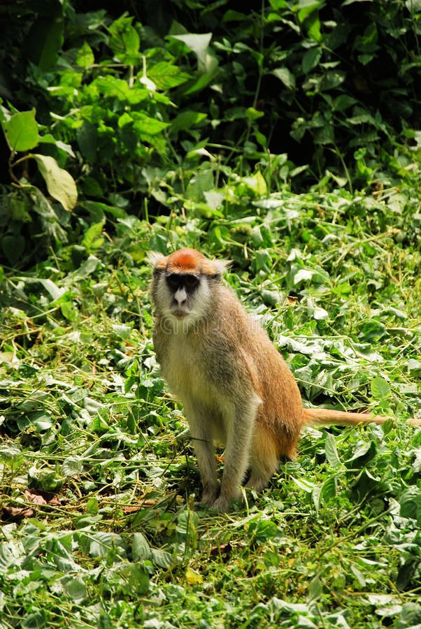 Patas monkey in Africa; photo credit Brian Flaigmore, Dreamstime