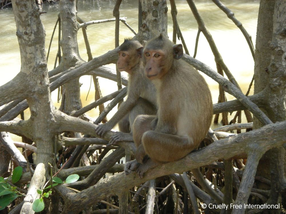 Long-tailed macaques living freely in Vietnam; photo Cruelty Free International